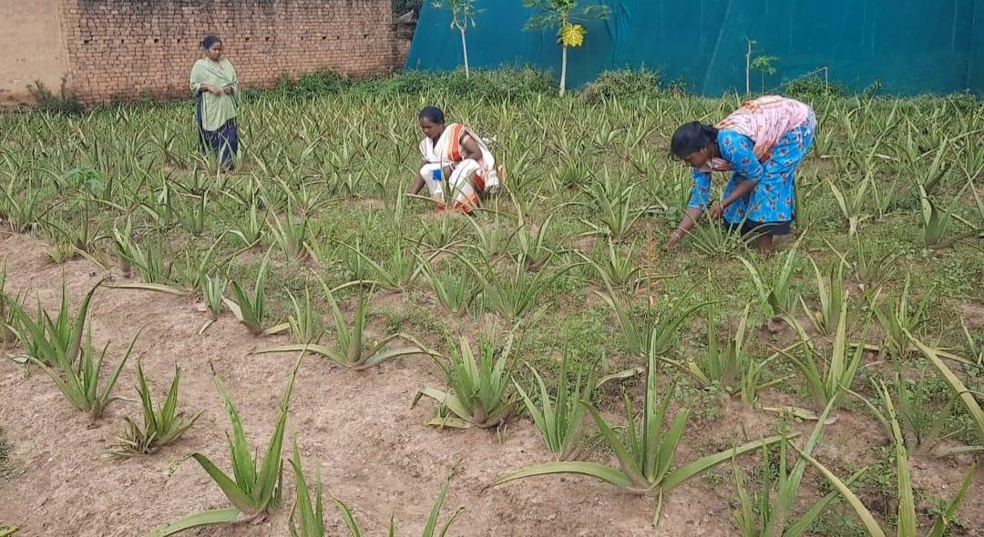 झारखंड के देवरी गांव के किसान एलोवेरा की खेती कर बन रहे हैं आत्मनिर्भर, प्रदेश का पहला एलोवेरा विलेज के रूप में स्थापित