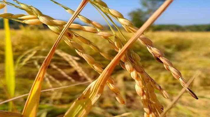पंजाब और हरियाणा में धान की खरीद 11 अक्टूबर से होगी शुरू